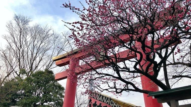 梅が咲きつつある亀戸天神