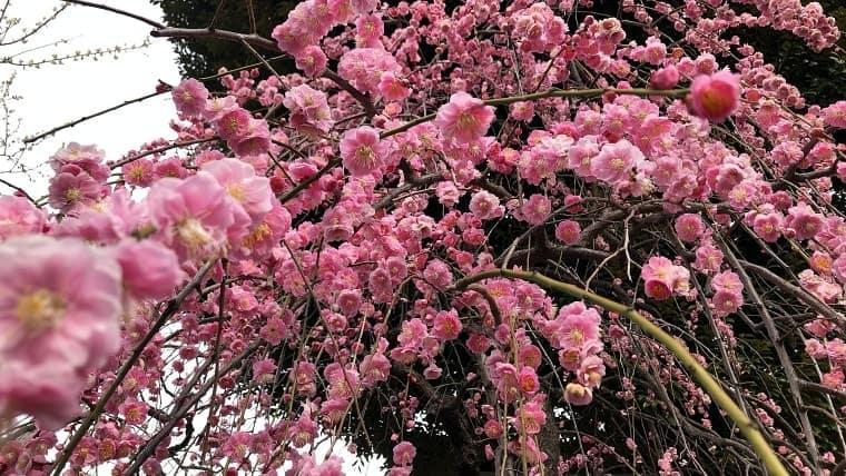 枝垂れ梅を横から見るか、下から見るか